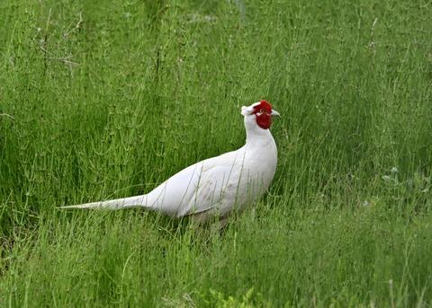 キジ♂白化1410