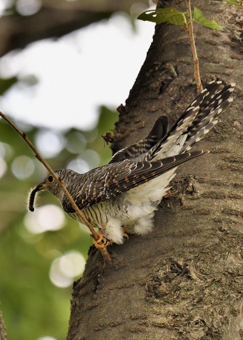 ツツドリ幼鳥6015