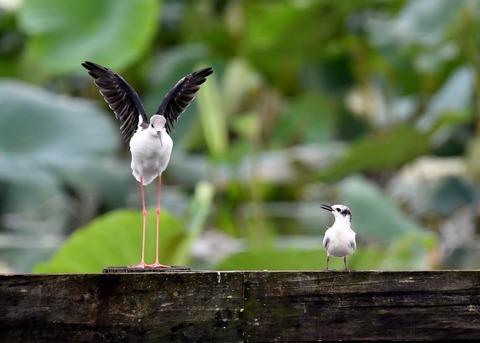 クロハラアジサシ幼鳥2934