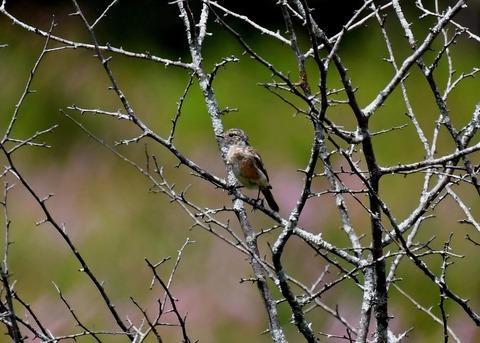 ノビタキ幼鳥1090