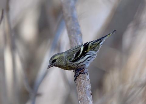 マヒワ若鳥3684