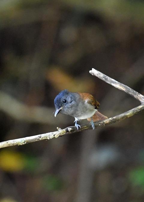 サンコウチョウ幼鳥5607