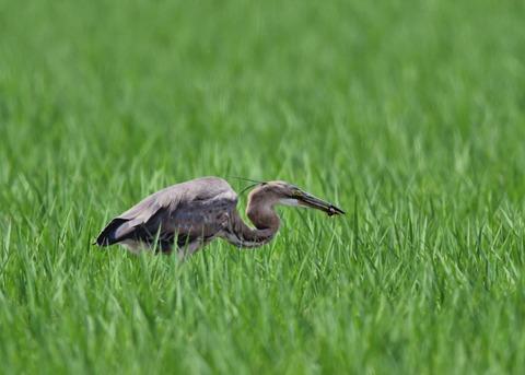 ムラサキサギ若鳥2391