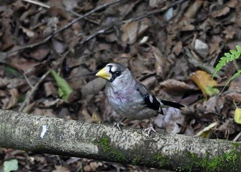 イカル幼鳥1236
