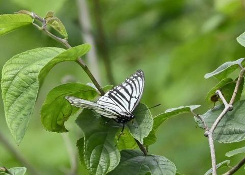 アカボシゴマダラ(春型)6157