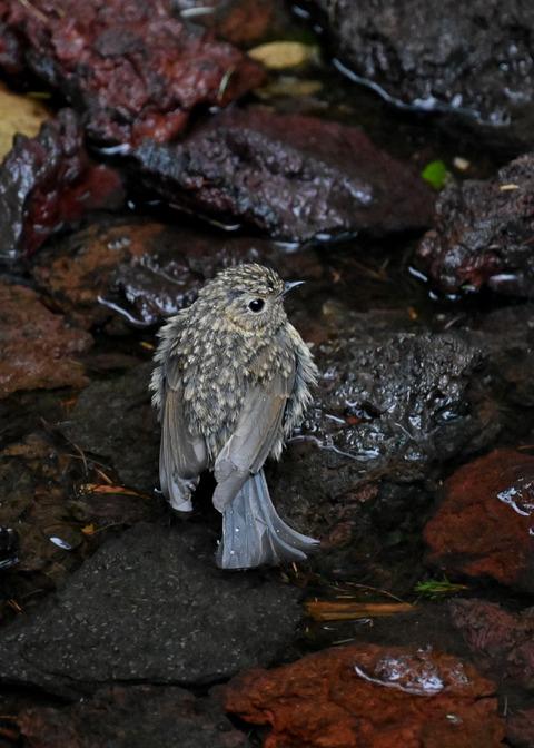 ルリビタキ幼鳥8330