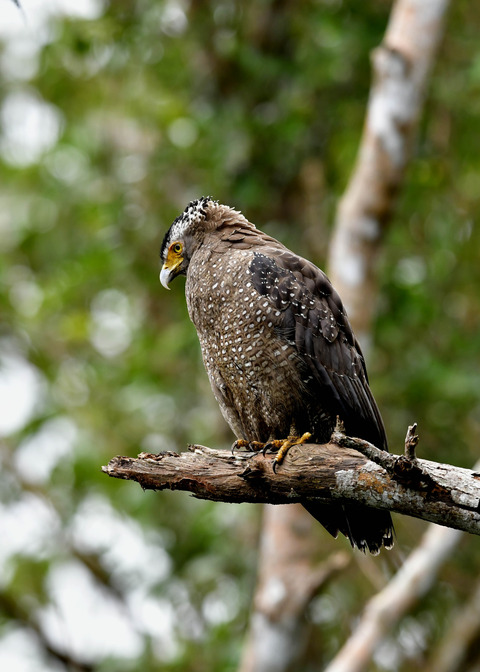 カンムリワシ成鳥5989