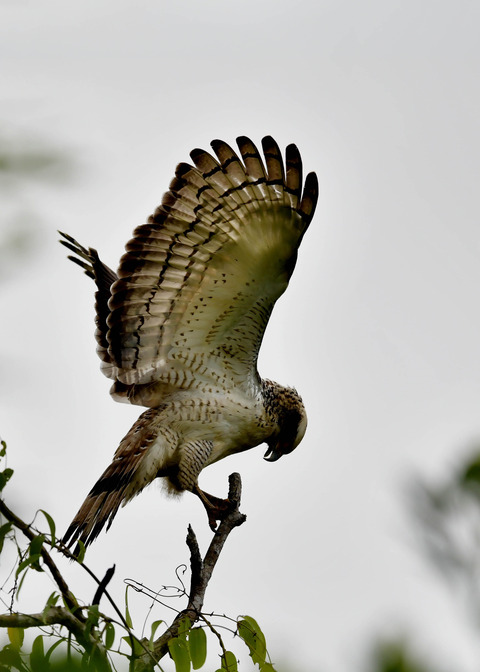 カンムリワシ若鳥6533