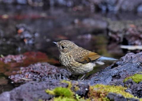 ルリビタキ幼鳥1178
