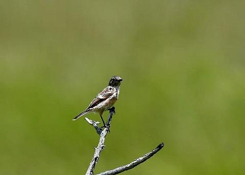 ノビタキ幼鳥5193
