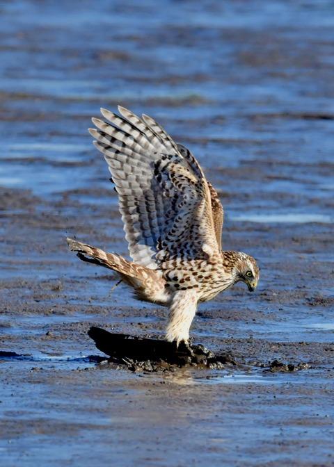 オオタカ若鳥0644