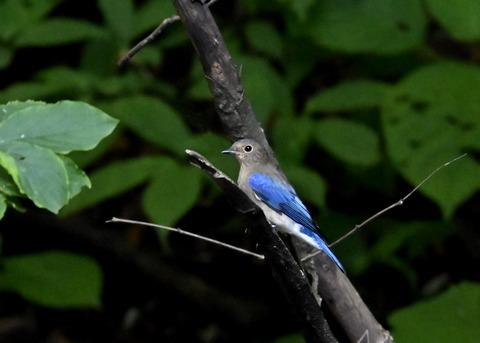 オオルリ幼鳥①6361
