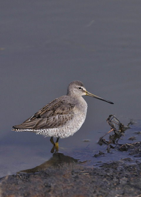 オオハシシギ・幼鳥2179