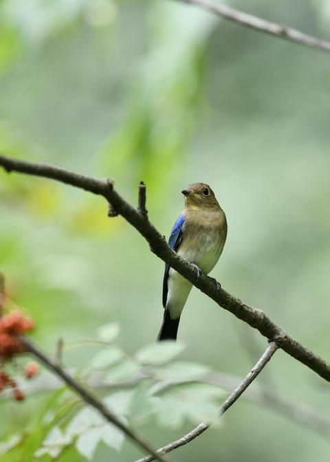 オオルリ♂若鳥0534