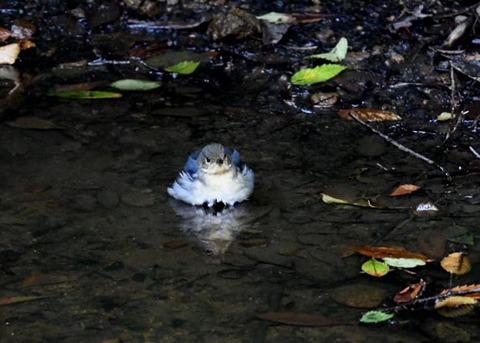 コルリ♂幼鳥7339