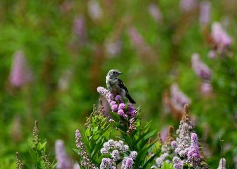 ノビタキ幼鳥2358