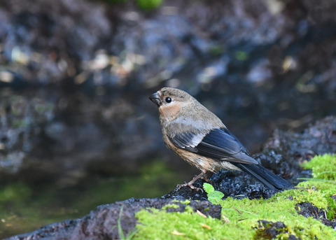 ウソ幼鳥4594