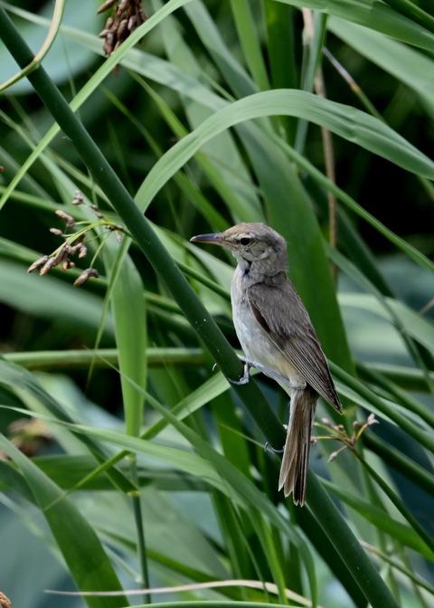 オオヨシキリ幼鳥8404