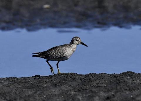コオバシギ幼鳥0201