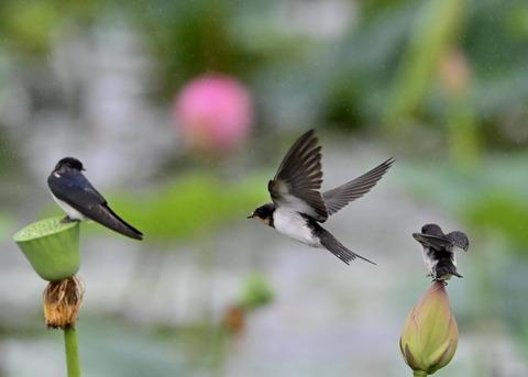 ツバメ幼鳥7495