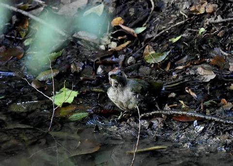 アオゲラ幼鳥♂8623