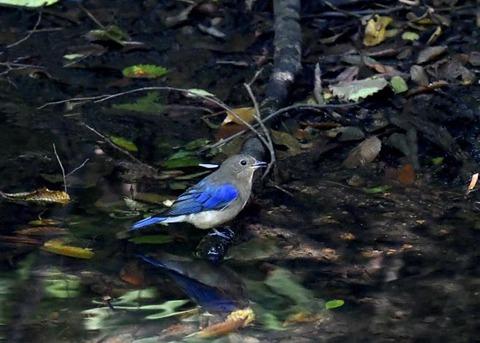 オオルリ幼鳥♂8337