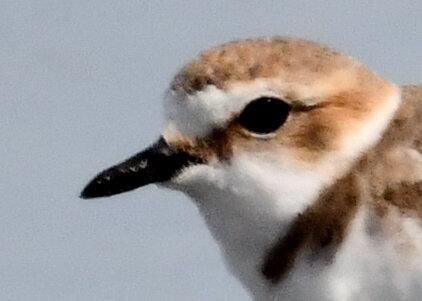 シロチドリ若鳥8392-01