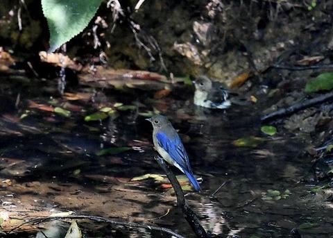 オオルリ幼鳥♂8141