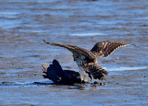 オオタカ若鳥0601