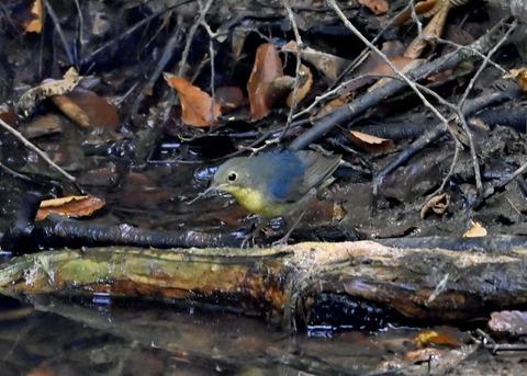 コルリ♂幼鳥2631
