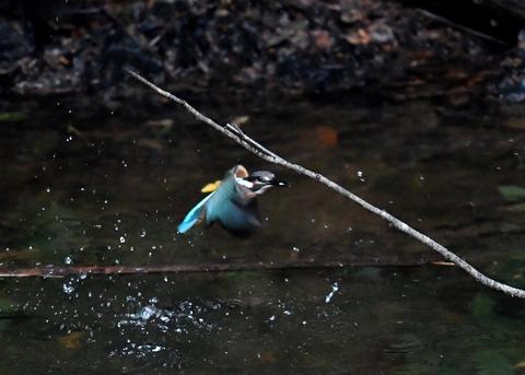 カワセミ若鳥4349