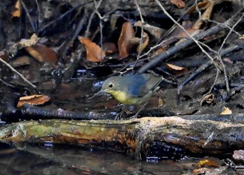 コルリ♂幼鳥2630