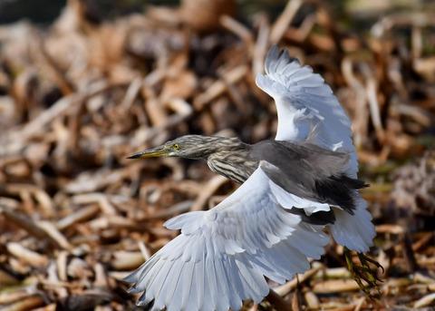 飛ぶ・アカガシラサギ9067