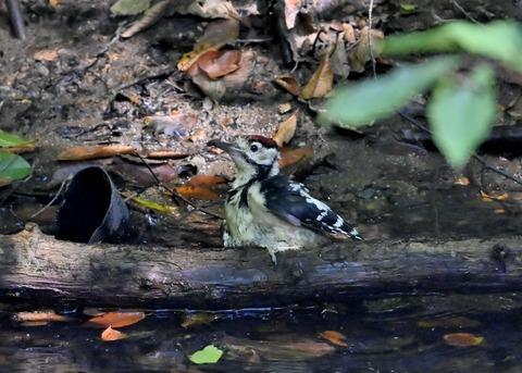 アカゲラ♂幼鳥3647