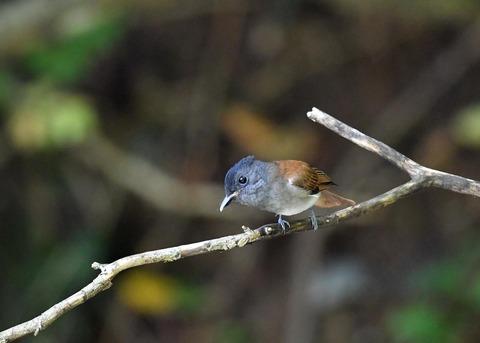 サンコウチョウ幼鳥5633