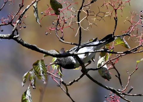 クロツグミ幼鳥3355