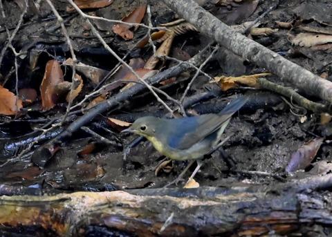 コルリ♂幼鳥2622