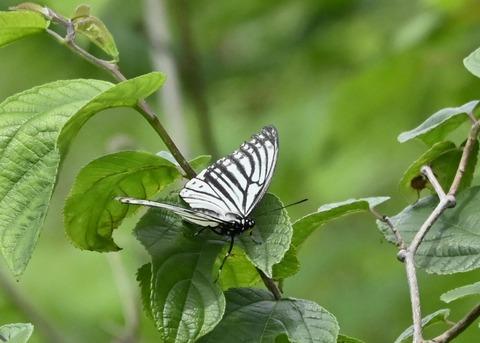 アカボシゴマダラ(春型)6155