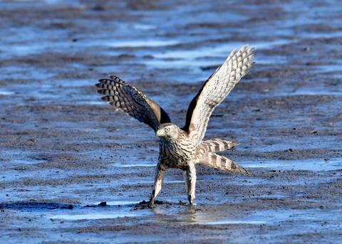 オオタカ若鳥0801