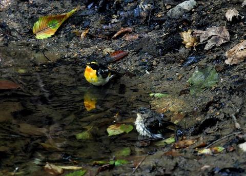キビタキ♂と幼鳥3464