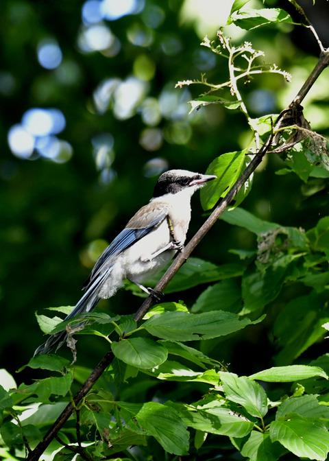 オナガ幼鳥0425