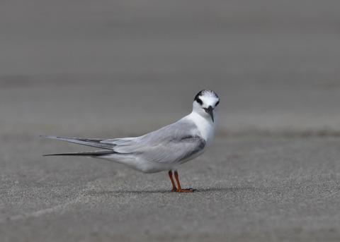 コアジサシ冬羽8301