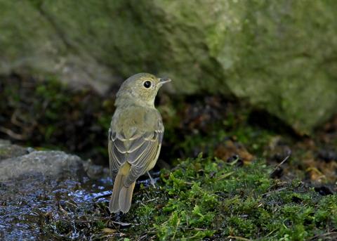 キビタキ♀幼鳥1312