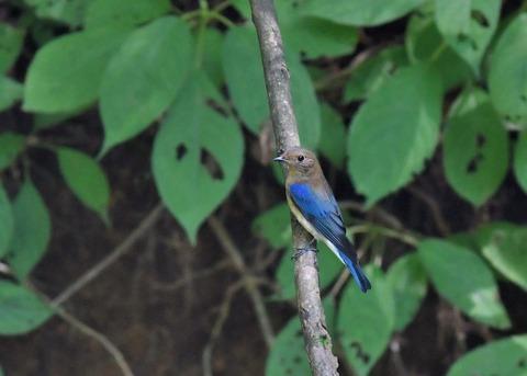 オオルリ♂幼鳥4106