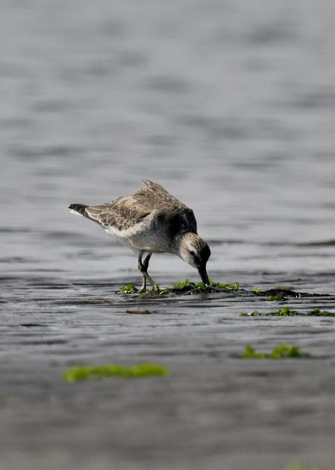 コオバシギ幼鳥4278