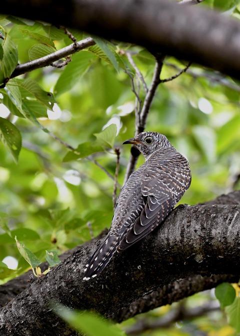 ツツドリ幼鳥6568