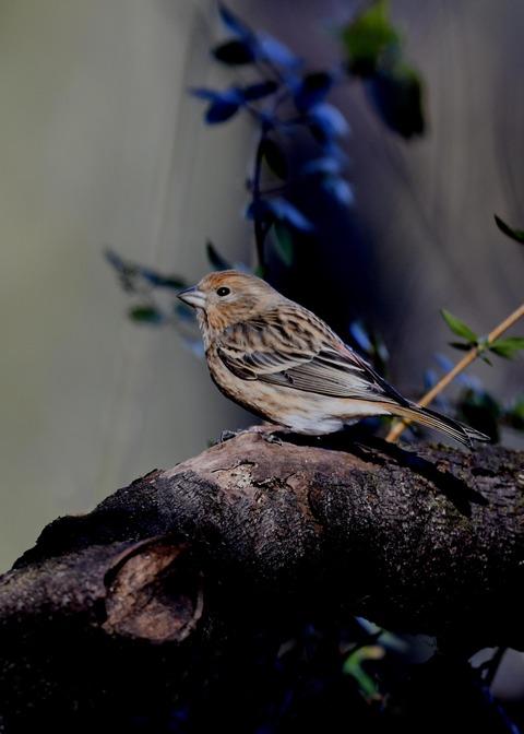 オオマシコ若鳥8886