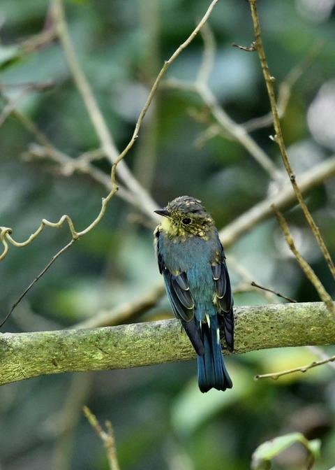 オオルリ♂若鳥0515