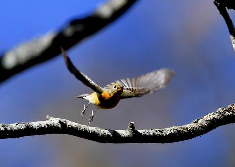 飛ぶ・ムギマキ♀4139