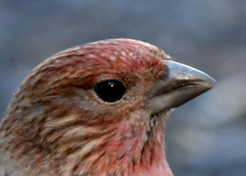オオマシコ若鳥1724-01